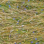 Selecting Cover Crops