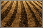 How to Plow Perfect Furrows While You Cultivate